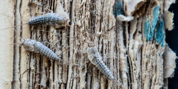 What Problems do Silverfish Cause_