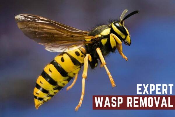 expert wasp Removal perth (1)