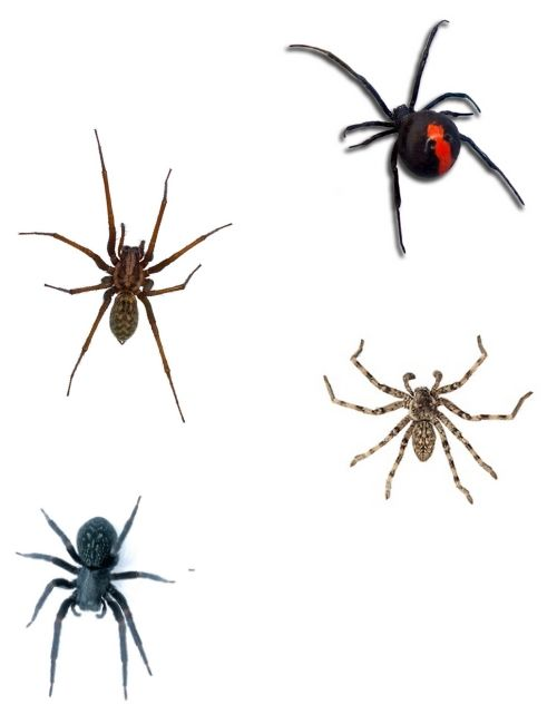 types of spider
