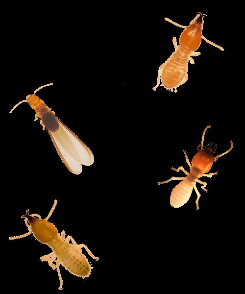 types of termite