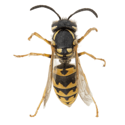 wasp removal perth